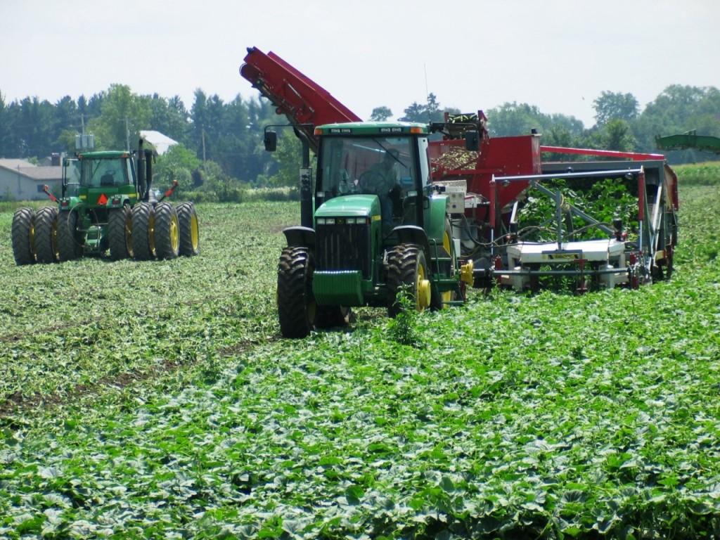 Cucumber Farming in Central Michigan